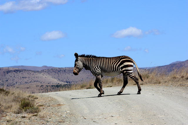 mountainzebra
